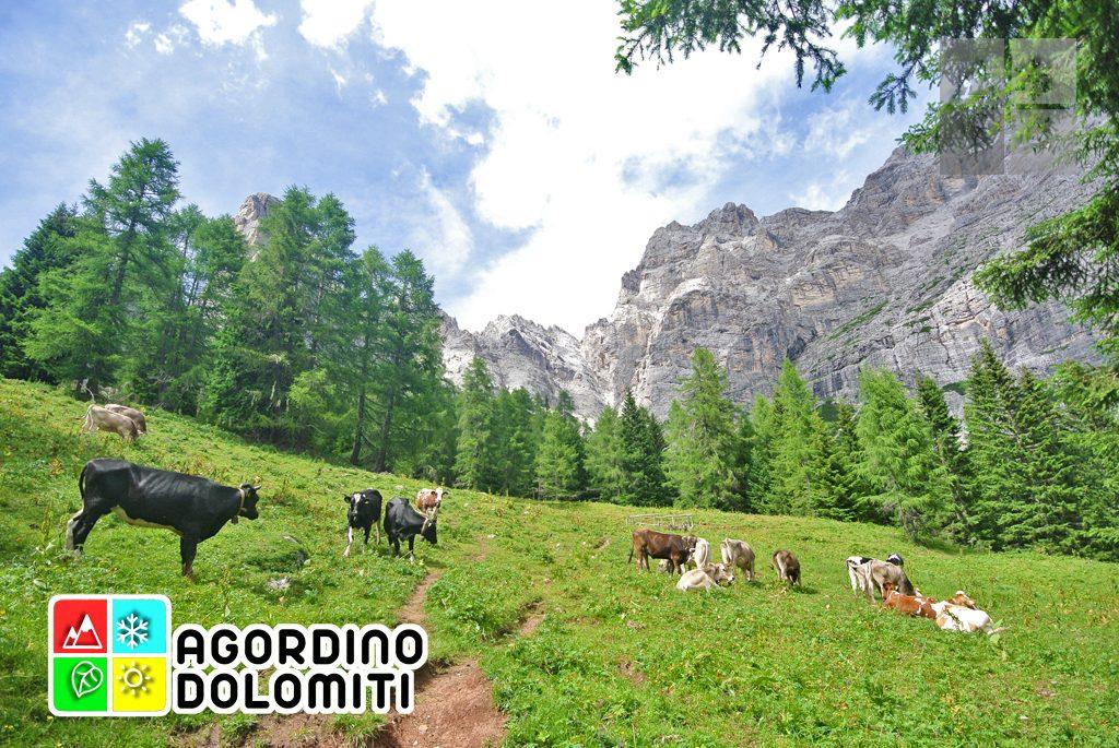 Moiazza e mucche nei pressi di Malga Framont